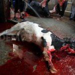 dead cow