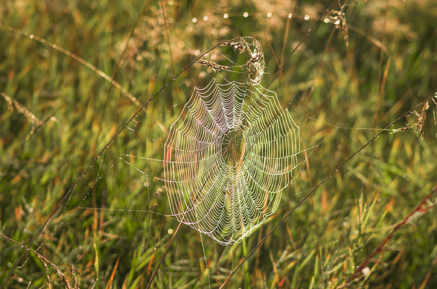 44172986 - beautiful spiderweb with dew on a summer morning