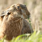 hare for article